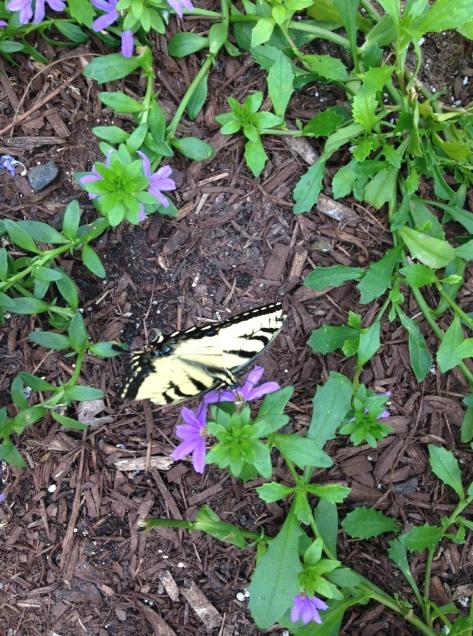 aerlie butterfly