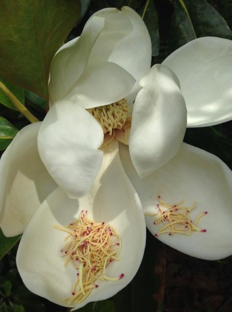 aerlie magnolia