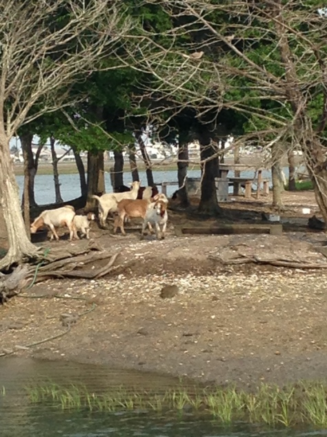 marsh goats at murrels inlet